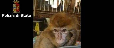 Catania, una scimmia (rubata) sul comò