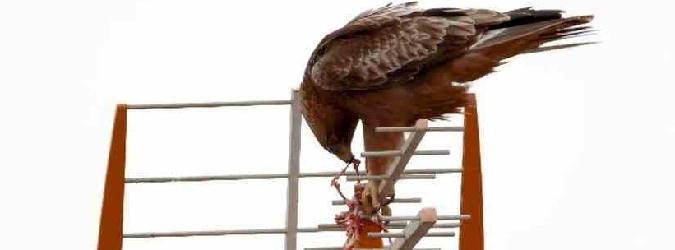Agrigento, l'aquila sbrana il piccione