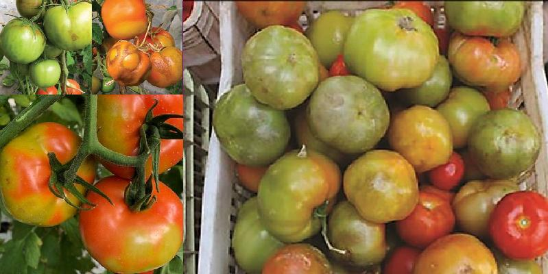 Il virus che attacca i nostri pomodori