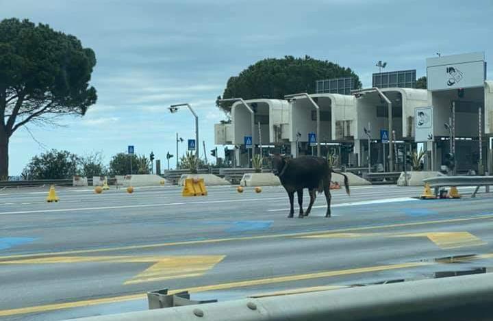 Non è una bufala: è un bue