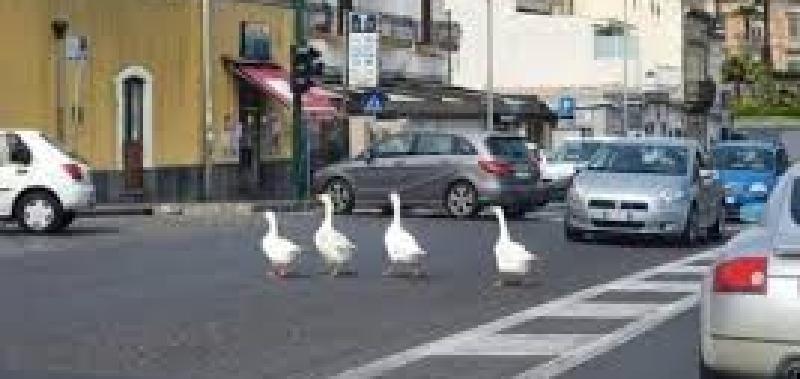 Oche a passeggio per Catania: 'Salviamole'
