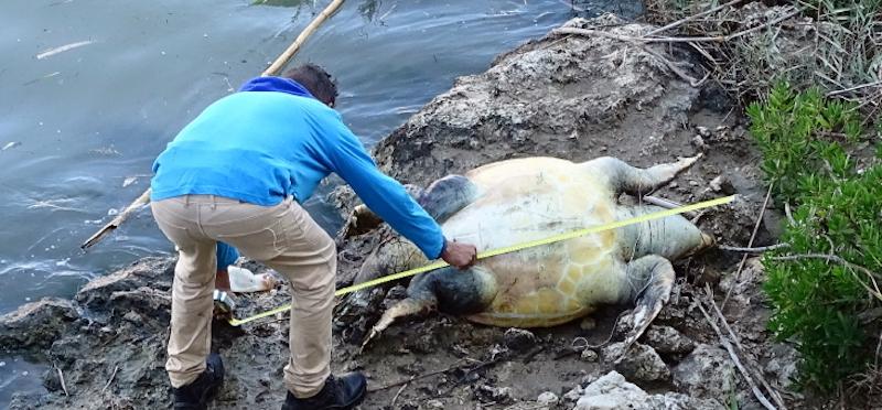 Trovata morta una tartaruga gigante