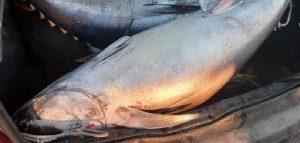 """""""Niente da dichiarare?"""": nel portabagagli tonni immangiabili per i catanesi"""