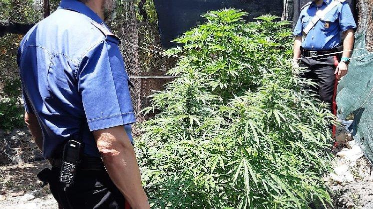 Piantagione di droga al Villaggio Sant'Agata