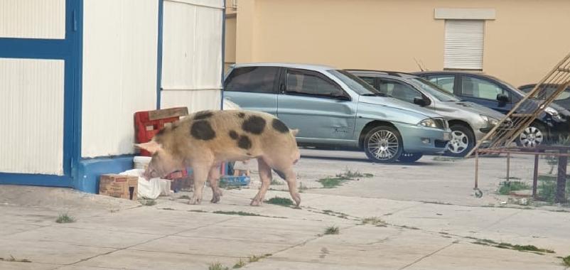 C'è un maiale allo Zen: bloccato