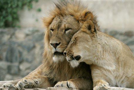 Zoo di Barcellona, quattro leoni positivi al Covid 19
