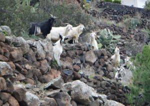 """Ad Alicudi l'invasione delle capre selvatiche: """"Sono enormi e fanno paura"""""""